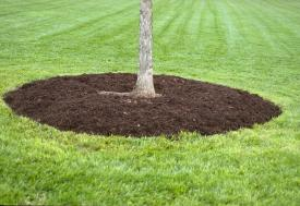 Example of correctly mulched tree