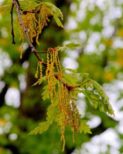 oak catkin