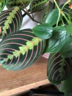 prayer-plant-maranta-leuconeura