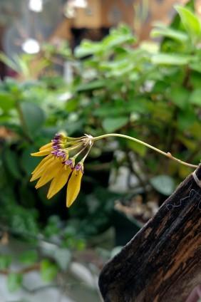 bulbophyllum-pumilio