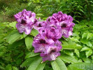 rhododendron-bloom-ecn-300x225-1