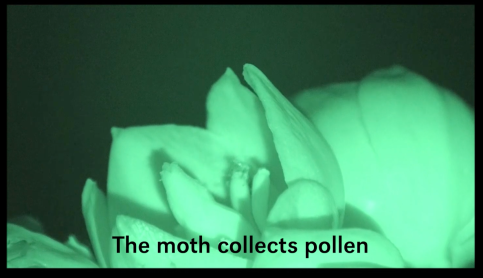 yucca moth video