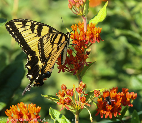 swallowtail butterfly on butterfly weed