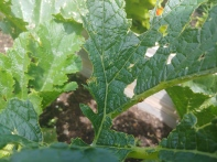 Cucumber beetle and leaf damage