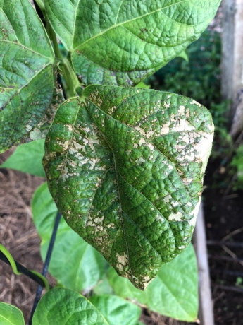 Plant burn on leaves
