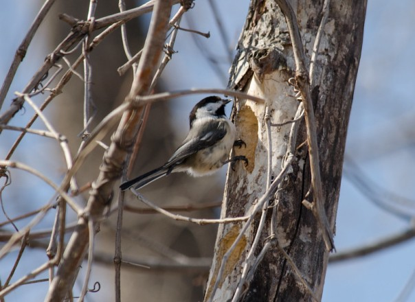 chickadee explores a tree cavity