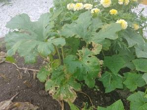 Sick zucchini plant