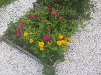 Our zinnia and green bean bed. Heavy on the zinnia.