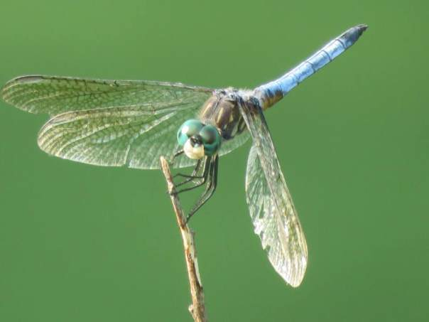 blue dragonfly with large green eyes