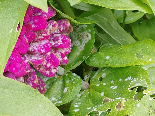 Powdery mildew on zinnia