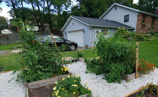Overgrown tomato plants
