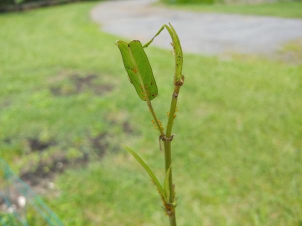 Eaten milkweed