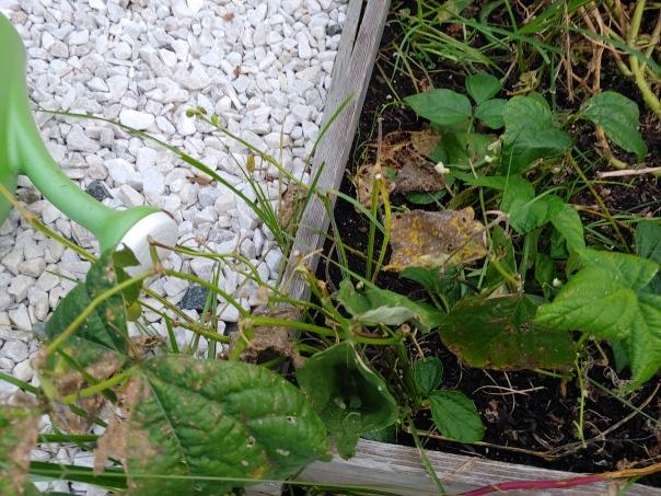 Green bean leaves eaten