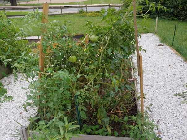 Trimmed tomato plant
