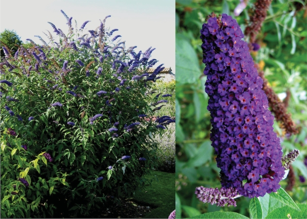 flowering butterfly bush