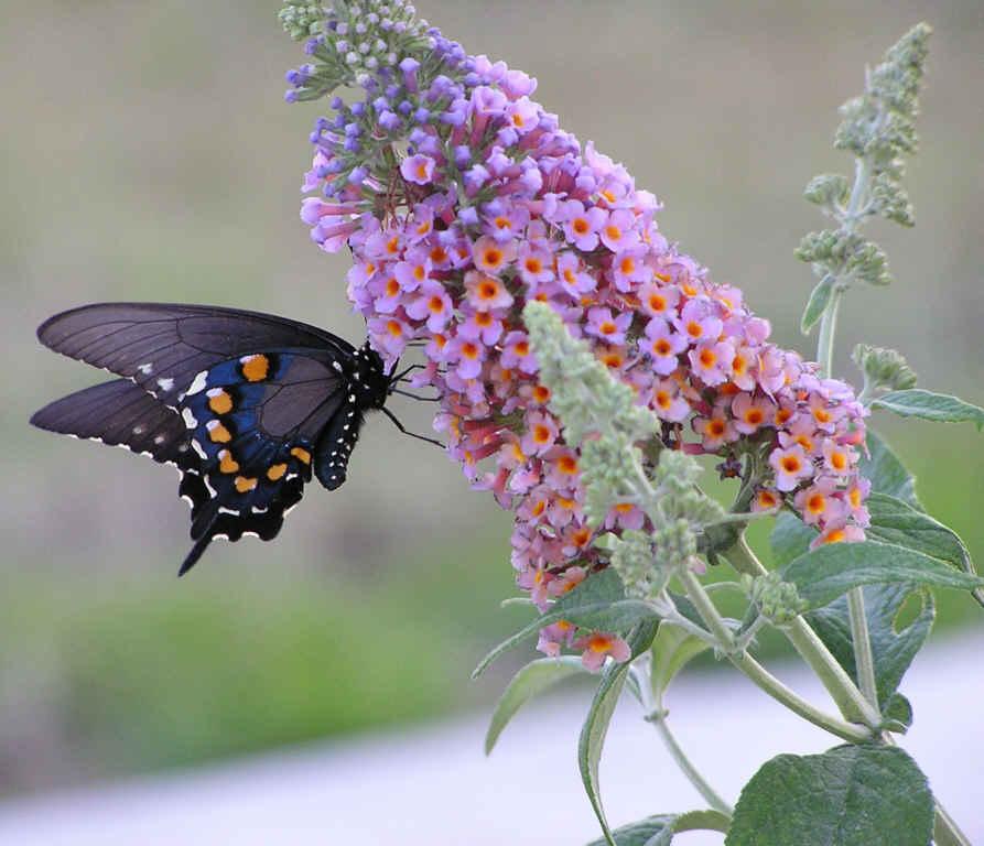 swallowtail butterfly on flowers of butterfly bush
