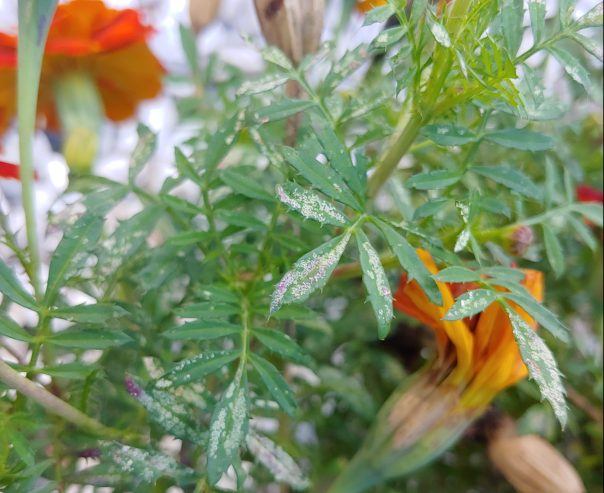 Feeding damage on marigold leaves