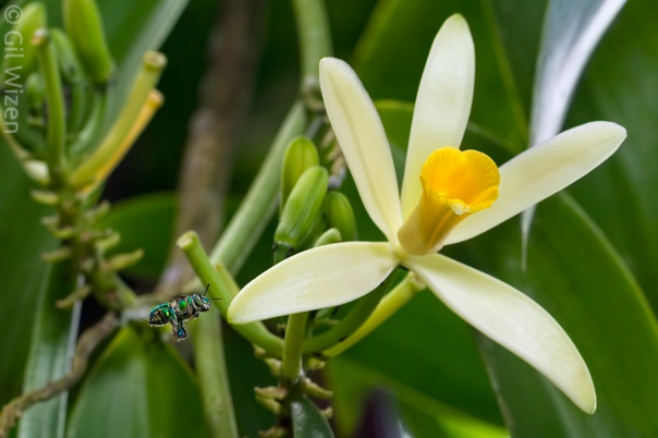 bee approaching a vanilla flower