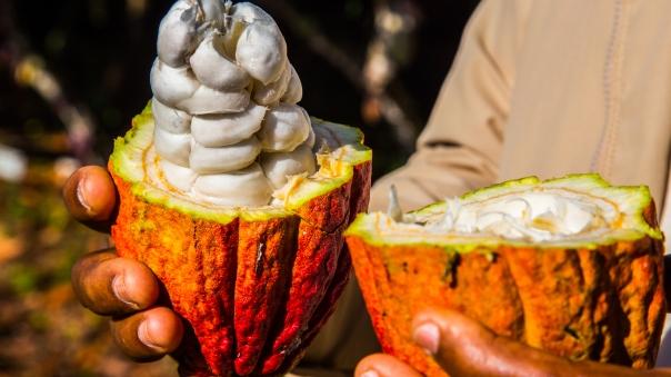 cacao pod split open