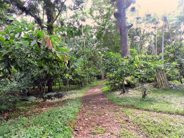 cacao plants