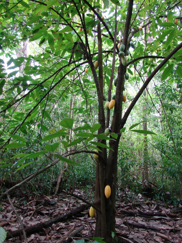 cacao tree a the forest