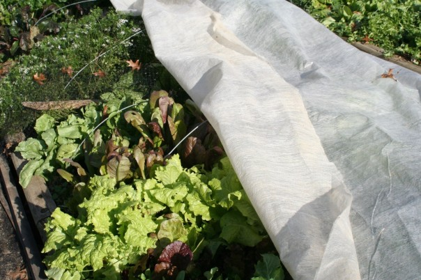 Pieces of #9 wire form bows over a raised bed to support a floating row cover protecting leafy greens.