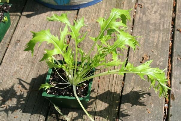 Large endive transplant ready to plant.