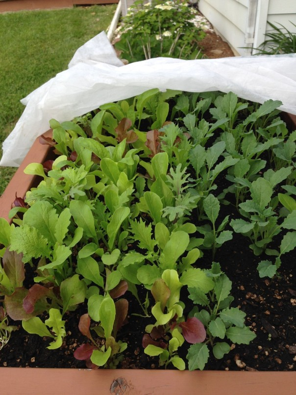Salad table of mixed baby greens. Growing spring crops in containers is easy and convenient. A  row cover is used to accelerate growth.