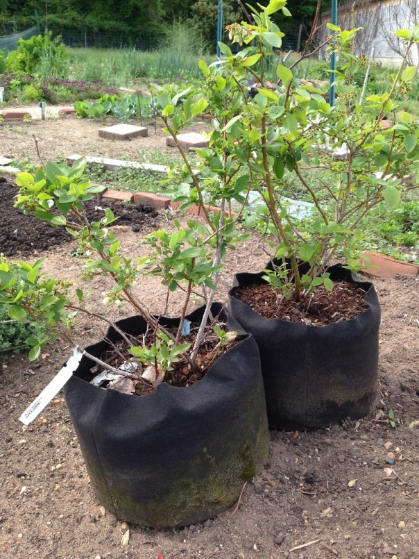 Blueberry plants in large fabric bags