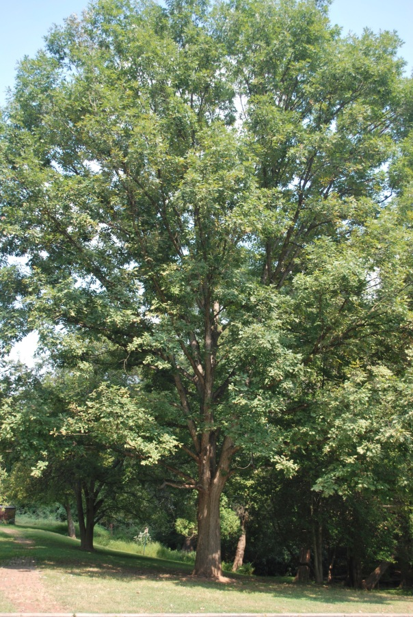 Oaks are a wonderful native choice for landscapes.