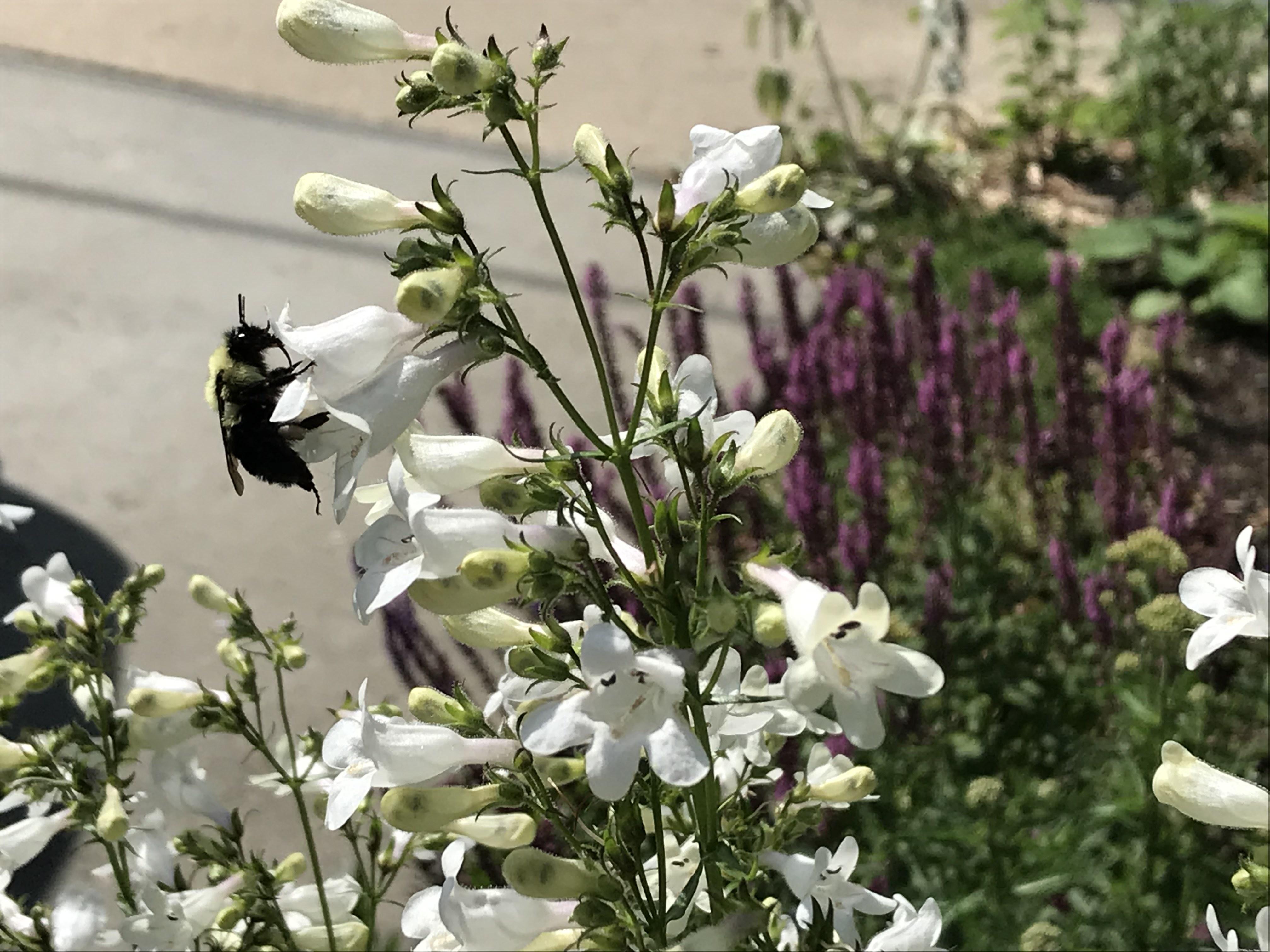 bee on foxglove beardtongue flowers