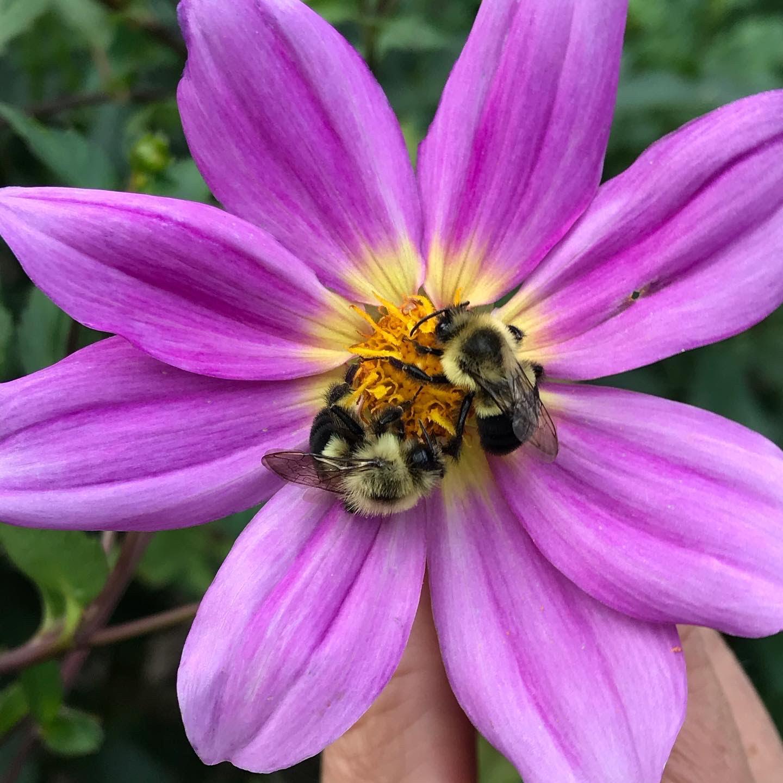 bumblebees on a dahlia flower