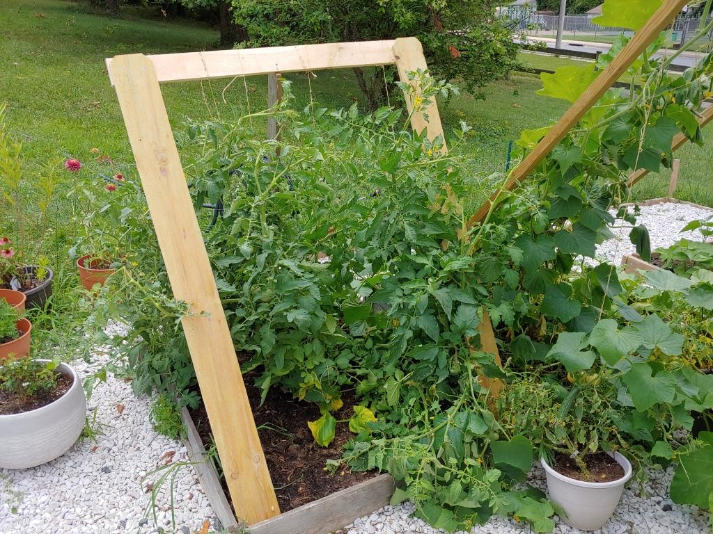 Tomato support in garden