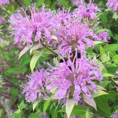 Purple bee balm flower