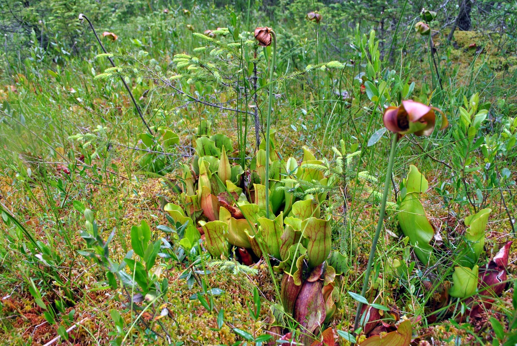 native pitcher plants in a field