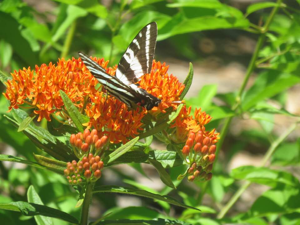 Orange butteryfly weed flower with butterfly