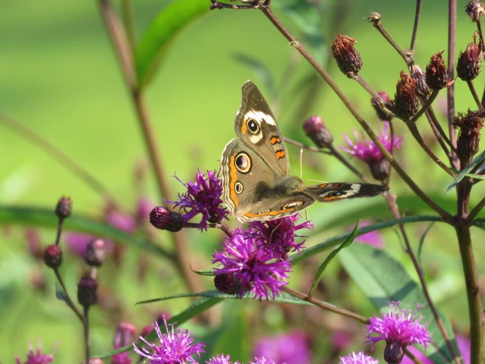 A common buckeye butterfly sips nectar from native New York ironweed.