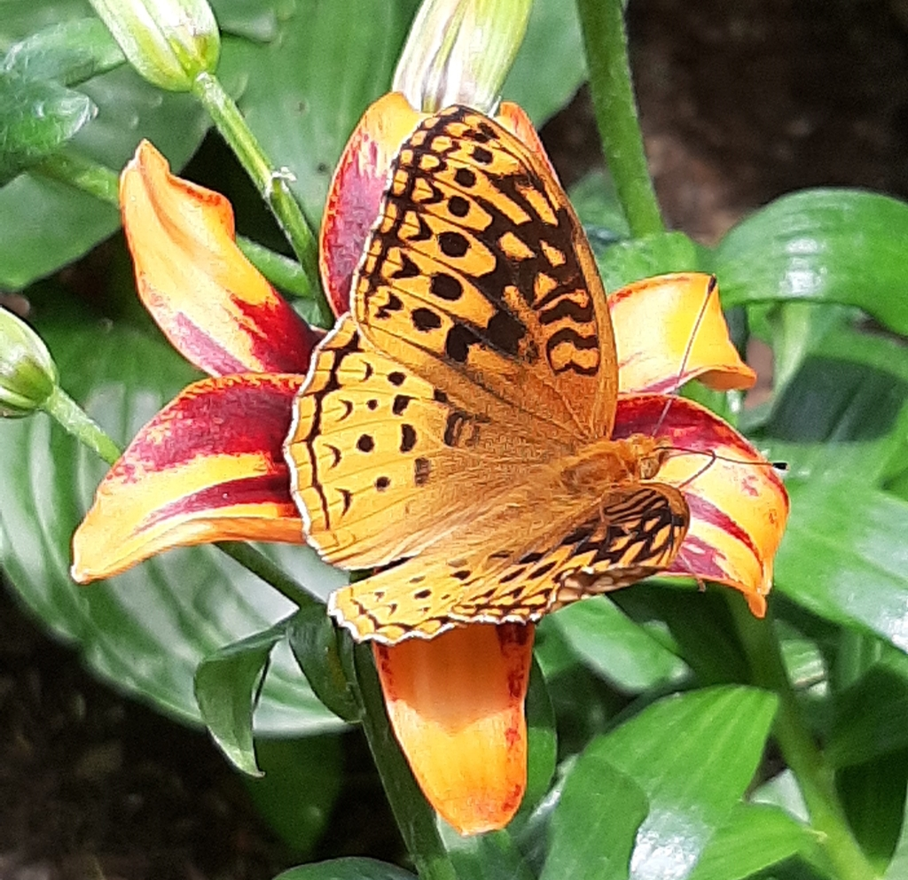 Lilies and other flowers welcome butterflies such as this great spangled fritillary.