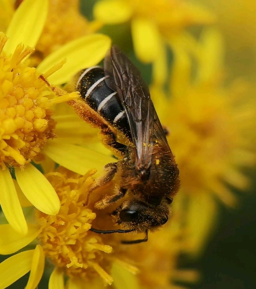 Orange-legged Furrow Bee