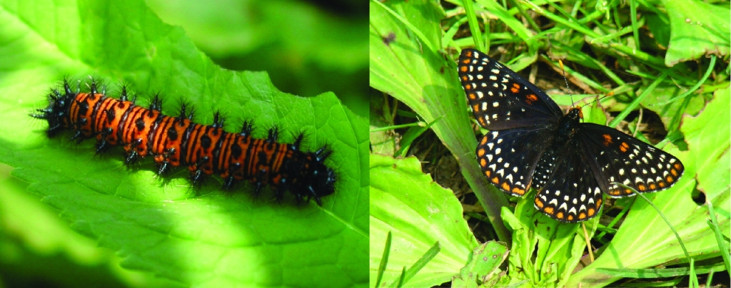 Baltimore Checkerspot caterpillar and adult butterfly