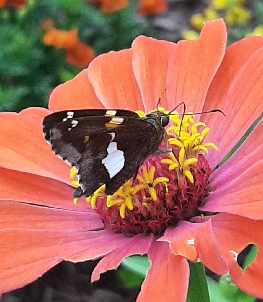 A silver spotted skipper butterfly explores a zinnia.